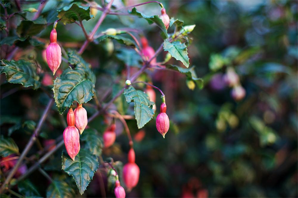 Tutkimusmatka syötävien kukkien ja versojen maailmaan – Mimis Kotipellon puutarha